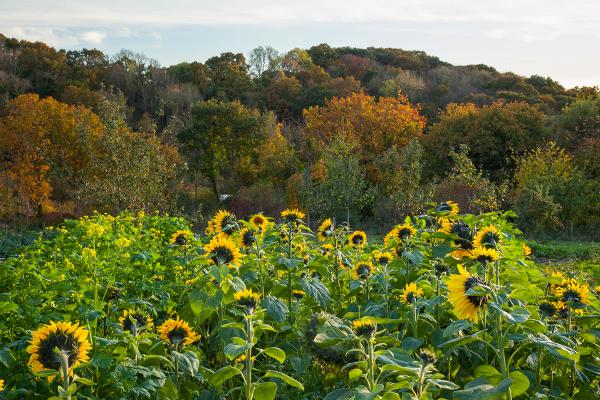 Sunflowers 1_72dpi-1572