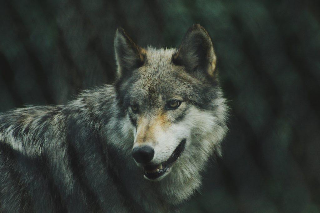 Grey Wolf by Michael Larosa