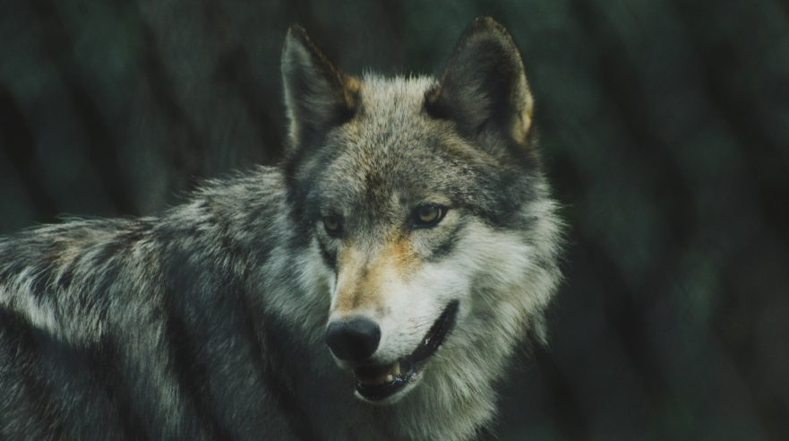 Grey Wolf by Michael Larosa