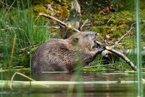 Beaver UK