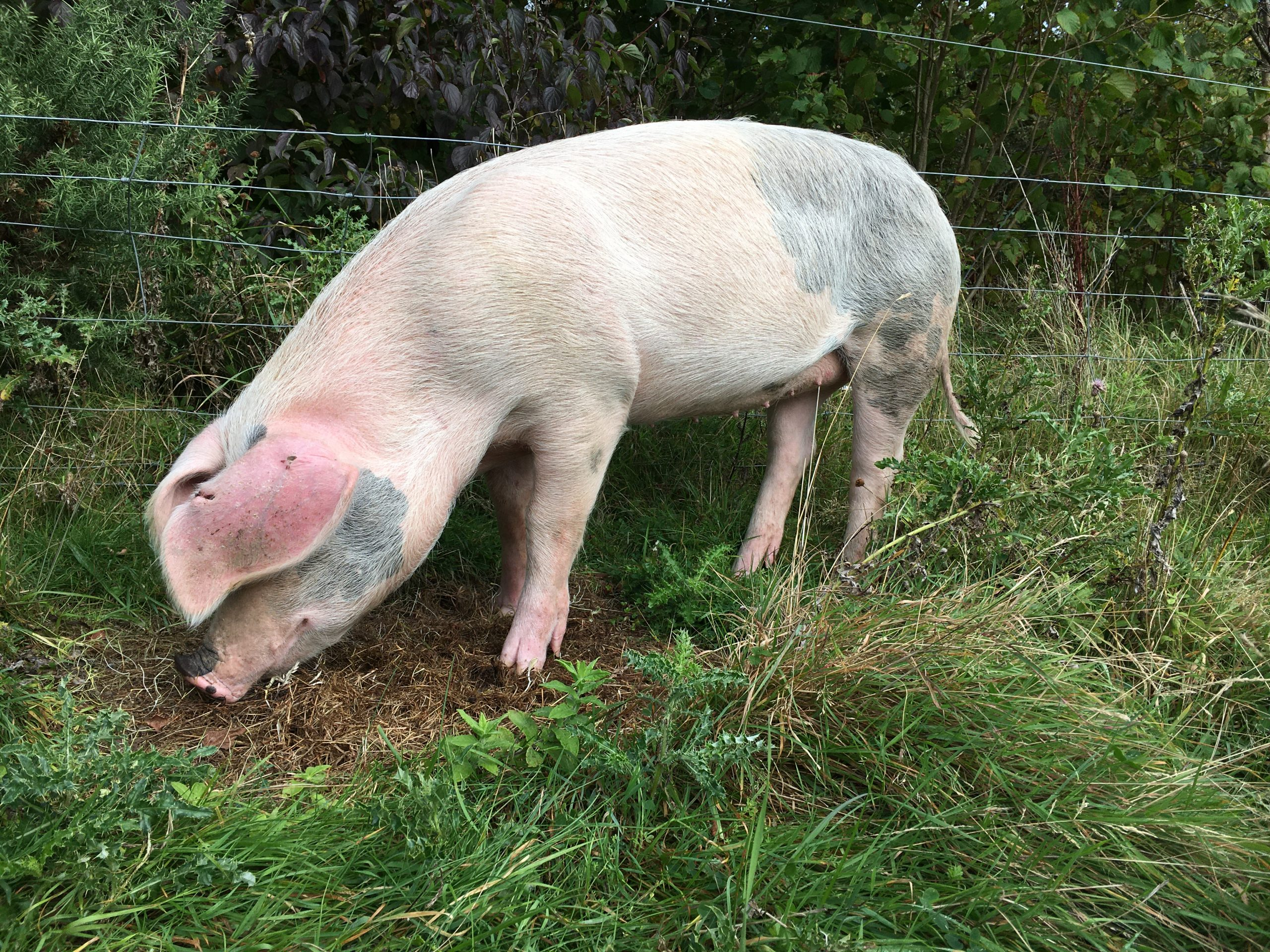 Rewilding the land with pigs